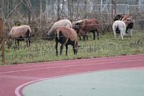 Základní škola ve Volarech zvolila pro údržbu travnatých ploch naprosto ekologické sekačky. První dvě ovce se za školním plotem objevily před třemi roky, dnes jich je čtrnáct.