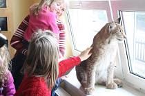 Všichni si mohli kotě rysa také pohladit.