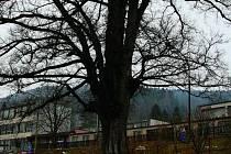 VÍTĚZ. Sympaťákem mezi stromy se stal po hlasování obyvatel města Jilm horský z ulice Zlatá stezka.