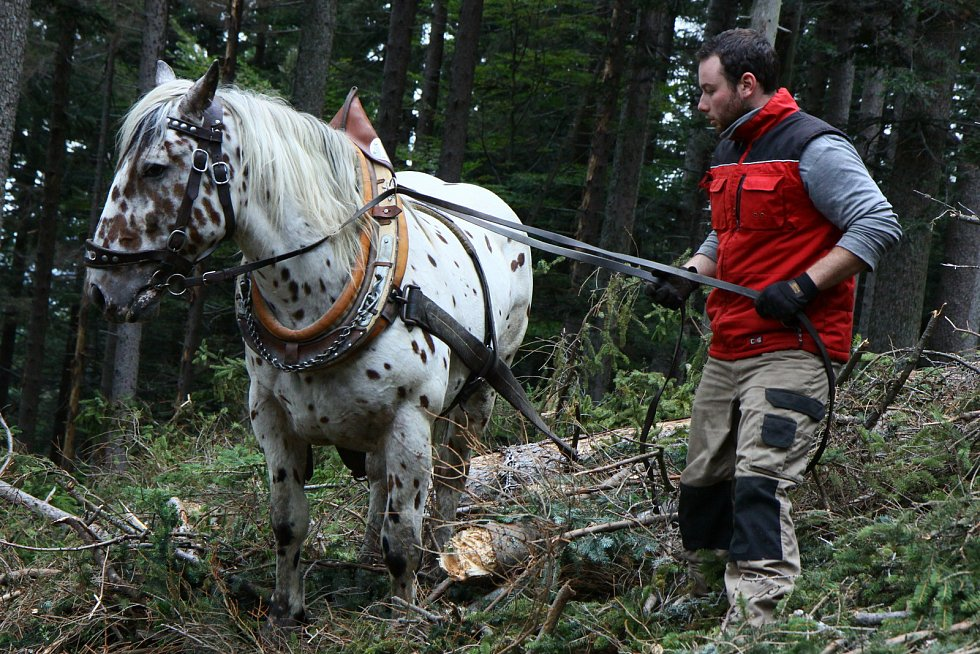 Mladí bratři Foistovi přibližují dřevo v lesích na Šumavě u Hamrů s koňmi.
