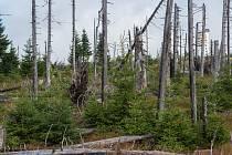 Podle vědců z Jihočeské univerzity i Akademie věd ČR se lesy na Šumavě poté, co je zničil kůrovec, obnovují velmi dobře.