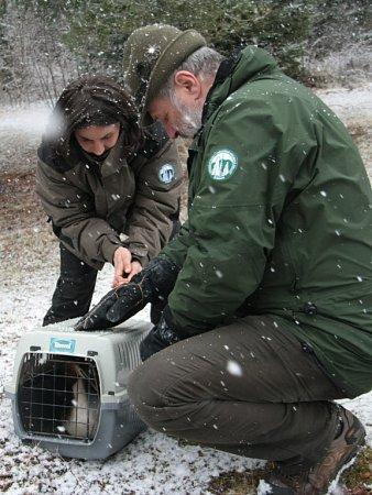 Pracovníci Správy NP Šumava ze stanice handicapovaných zvířat vKlášterci Petr Juha a Kristýna Falková vypustili ve čtvrtek 24.března do volné přírody letos prvního nalezeného opeřence, kterým je potápka roháč.