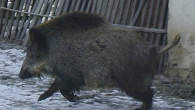 I divoká prasata již letos mají malá selátka.