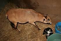 Nový přírůstek do obůrky, jehně ovce kamerunské, je momentálně v bezpečí a daří se mu dobře.