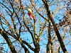 Ve stromech v aleji Zlatá stezka ve Volarech byl vidět dřevorubec. Stromy prořezal, aby alej byla bezpečná pro procházky.