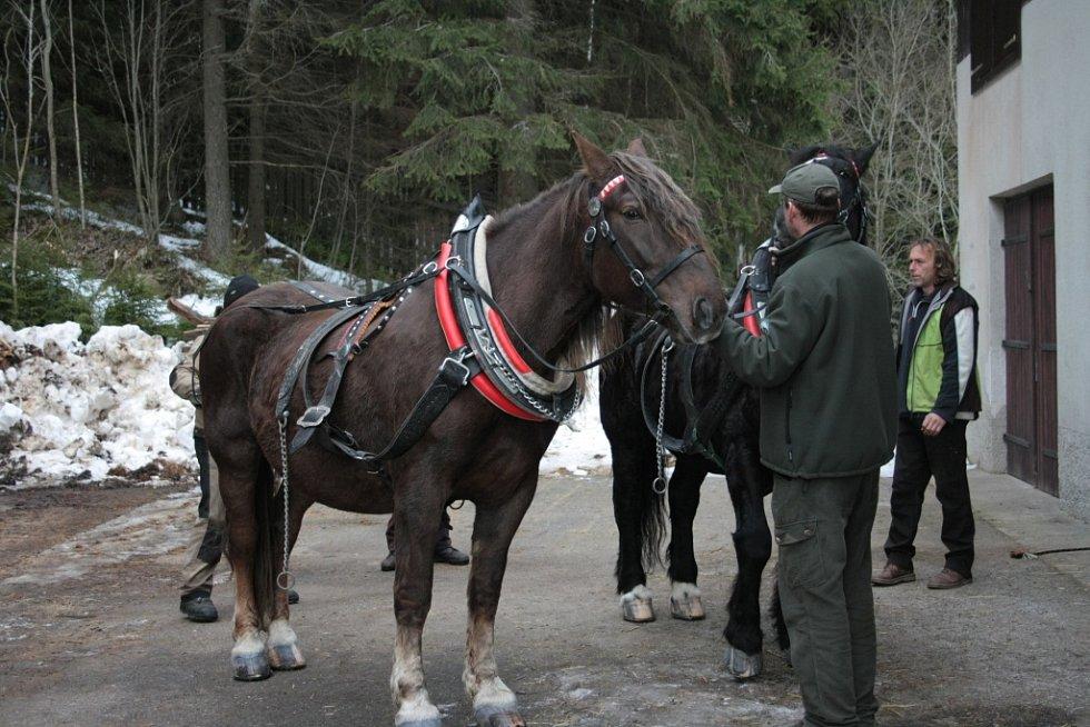 Chladnokrevné koně se snaží Správa NP a CHKO Šumava opět vrátit na Šumavu.