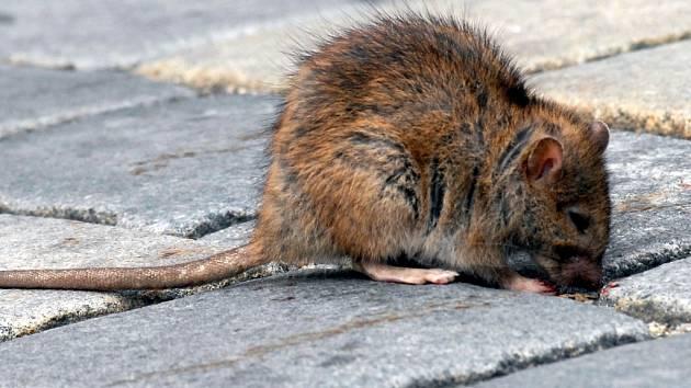Na apríla začne pravidelné jarní hubení potkanů