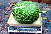 Na švestce vyrostl tento meloun.