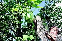 Že by meloun na švestce?