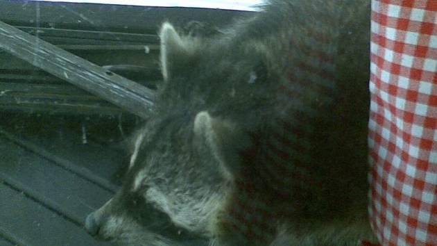 PŘEKVAPENÍ. Ať už medvídek mýval nebo mývalovec, i tak byli majitelé hausbotu překvapení.