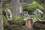 Tyto krásné vlky najdete v návštěvnickém centru národního parku v Srní. Žijí tu v uzavřeném výběhu. Spatřit vlka žijícího volně je velkou vzácností.