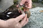 Kachna z Prášilského jezera a víčko, které ji mohlo bez pomoci zabít.