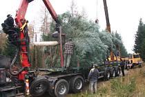 Rostlý vánoční strom má své výhody, dokud jej nenapadnou škůdci. Pak nastane otázka, zda je lepší vysadit nový, nebo každý rok někde nějaký pokácet a do města přivézt. To je ale hlavně technicky náročné.