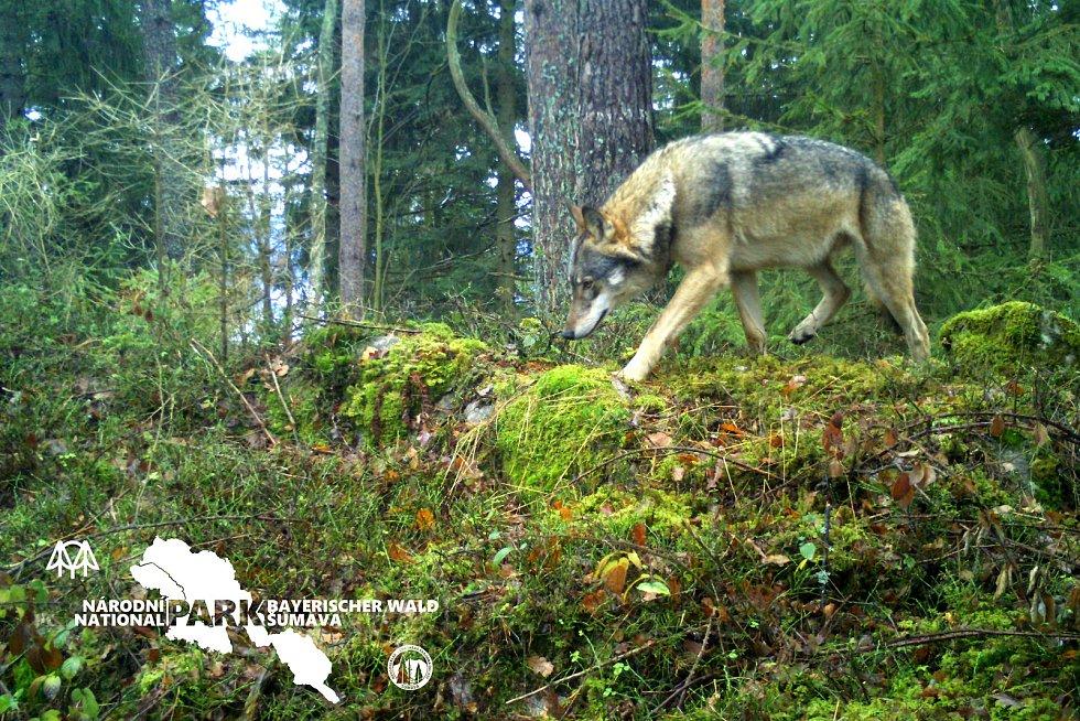 Jeden z vlků v Bavorsku.