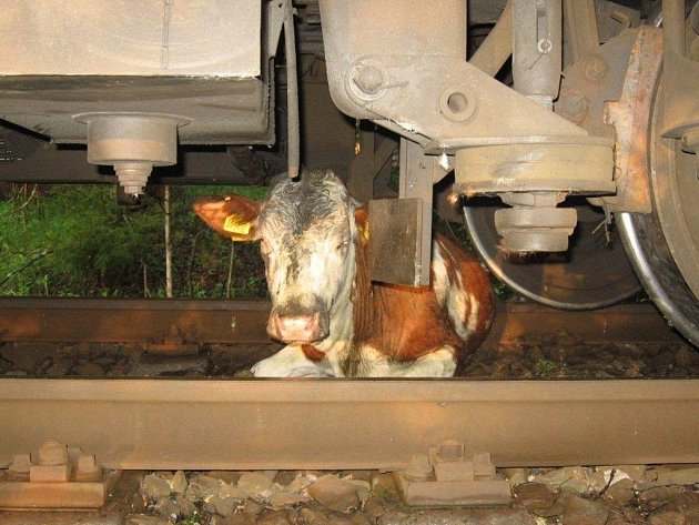 Bouřka, která se nad Volarskem přehnala z úterý na středu, vyřadila z provozu elektrický ohradník. Na padesát kusů dobytka uteklo a devět z nich ve středu ráno nepřežilo střet s osobním vlakem.