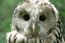O nejvzácnější sově popovídá ornitolog Tomáš Lorenc.