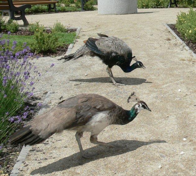 Pávi se chovají jako opravdu svobodní ptáci.