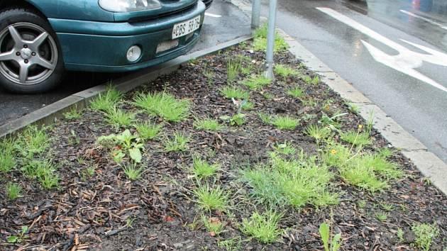 Záhon v ulici Pod Hradbami zničil někdo možná motocyklem, možná při parkování. Zahradník musí na místo znovu.