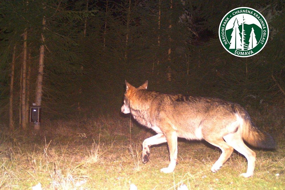 Záběry z fotopastí jsou důkazem, že vlků na Šumavě přibývá.