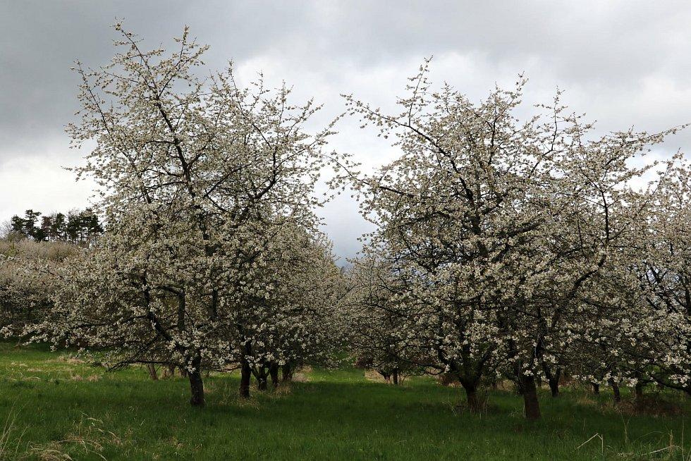 Lhenické sady kvetou.