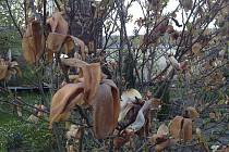 Mráz zničil řadu květin i stromů.