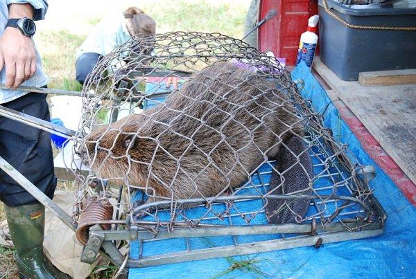 Dospělý bobr váží kolem 20kilogramů.