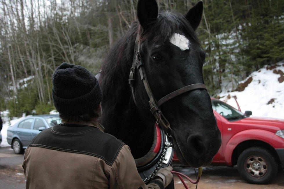 Chladnokrevné koně se snaží Správa NP a CHKO Šumava opět vrátit na Šumavu. Jedním z nich je Čert, který našel nový domov v Borových Ladech.