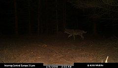 Fotopast monitorující rysy na Netolicku zachytila vlka. Vrátil se tam po 150 letech.