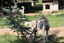 Psi, kteří ze všeho nejvíce milují zimu, v horkých dnech v podstatě neopouštějí stín.