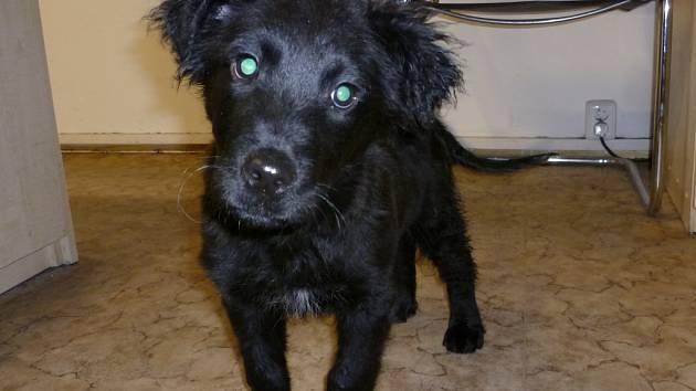 Černé štěně.