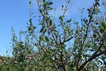 Sobotní krupobití nadělalo obrovské škody sadařům, ovocnářům a také zahrádkářům. Úrodu za ně sklidilo počasí.