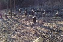 Okousané a pokácené olše poblíž Vltavy pod Lenorou jsou neklamnou známkou přítomnosti bobra.