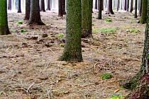 LESNÍ POUŠŤ. V lese je málo listnatých stromů, což podle myslivců není dobré a tento stav by byl potřeba změnit.