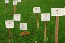 Stachy jsou svými hříbky v trávě na náměstí známy široko daleko. letos to dokonce vypadá, že by mohl padnout rekord.