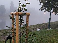 Nově zasazená lípa ale v parku na berounském Závodí dlouho nevydržela. Mladý strom někdo v noci ze soboty na neděli polámal.