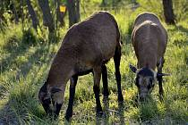 Ovce kamerunská připomíná svým vzhledem kozu.
