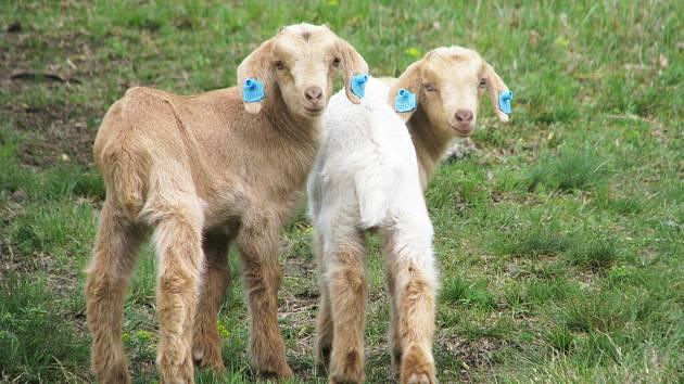 Louky u Bubovic spásají v chráněné krajinné oblasti ovce a kozy