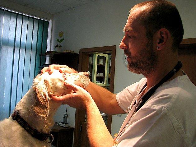 Lékař z veterinární kliniky kontroluje zdravotní stav feny anglického setra Elišky