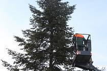 Centrum Berouna už zdobí nový vánoční strom. Letos je jím smrk z Vančurovy ulice.