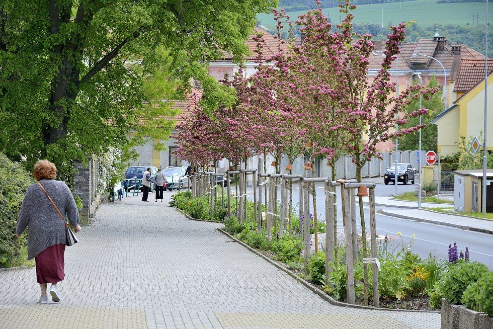 Hlohy v Talichově ulici vysázel s pomocí dobrovolníků spolek Berounská zeleň.