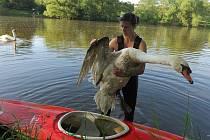Řeka Berounka a zraněný labuťák.