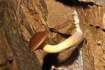 Koněpruské jeskyně - klozek zrnitý