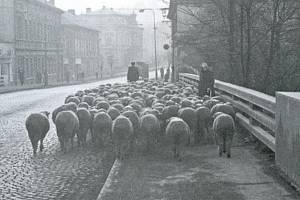 V 60. letech 20. století se na nejfrekventovanějším mostě v Berouně našel prostor pro stádo ovcí. Od letošního roku nese most přízvisko Masarykův.