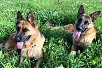 Ve středu 7. února se v Loděnici u Berouna ztratili dva němečtí ovčáci.