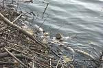 U hráze Lázeňského rybníku v Hořovicích se za poslední týden nakupily desítky uhynulých ryb.
