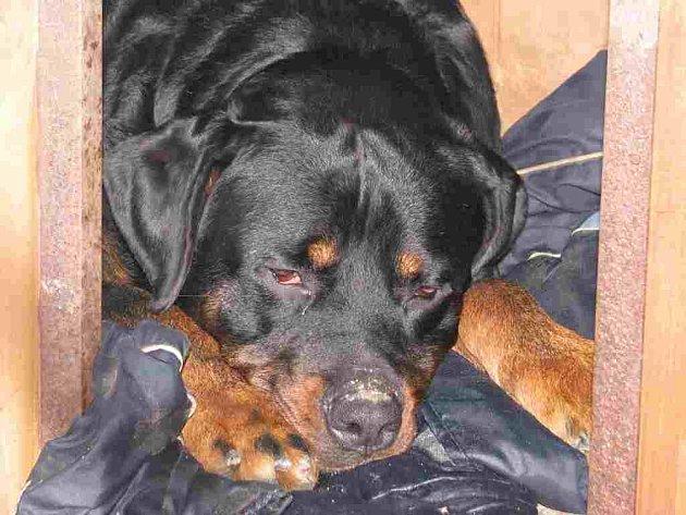 Mohutného psa nedokázala majitelka ohlídat, neustále běhal volně centrem Berouna