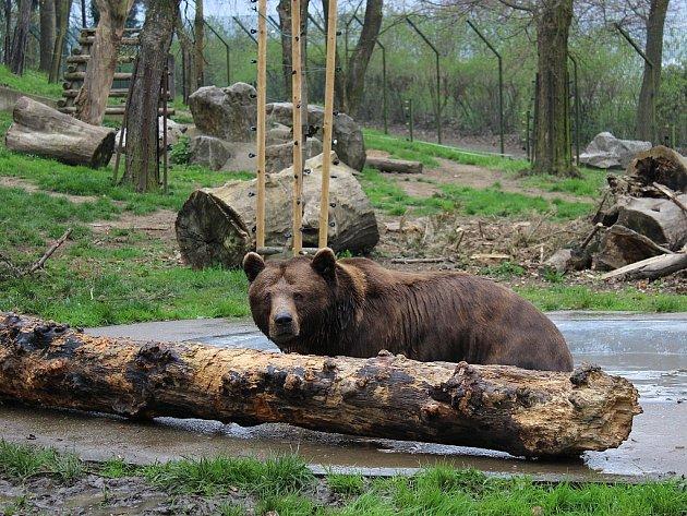 V berounském medvědáriu uhynul ve středu ráno Vojta. Zůstali už jen dva medvědi.