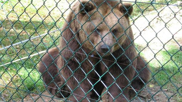 Medvědi na Městské hoře v Berouně.