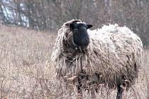 Ovce soukromého chovatele na Mořině jsou trnem v oku místních obyvatel. Majitel je navíc podle jejich slov zanedbává.