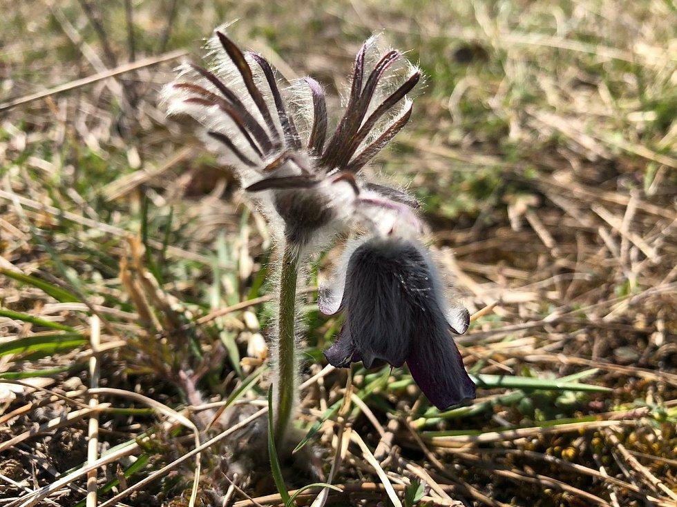 Koniklec luční český (Pulsatilla pratensis subsp. bohemica).